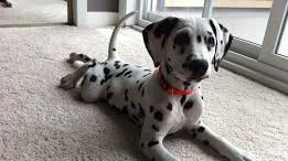 The Dalmation: Trusted Firehouse Dog